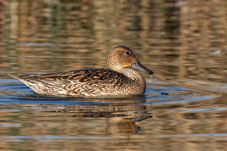 Female Gadwall Duck Photograph by Kathleen Bishop