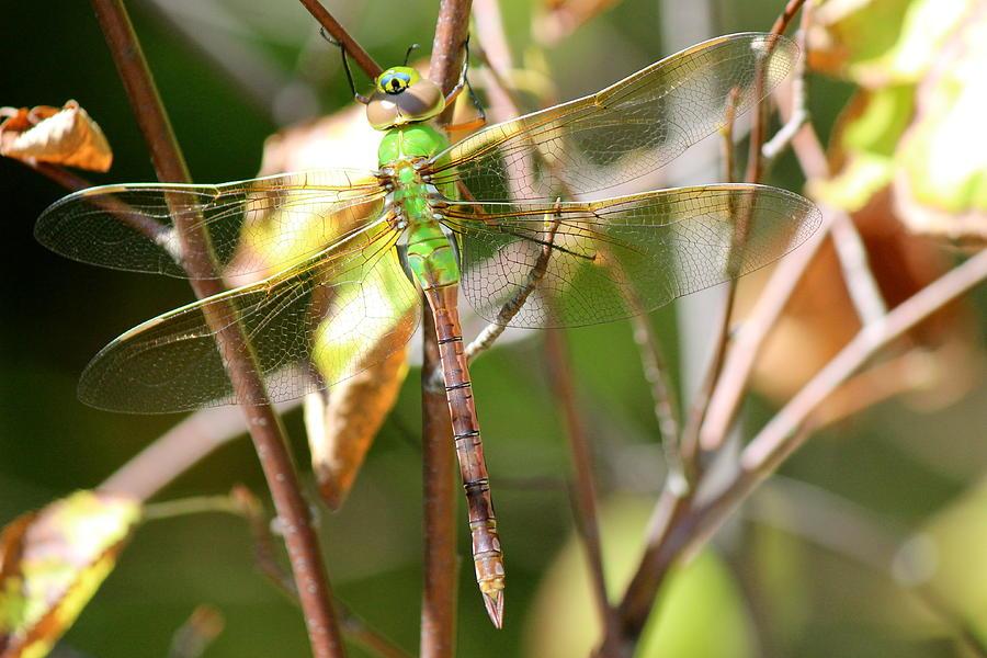 Nature Photograph - Female Green Darner by David Pickett