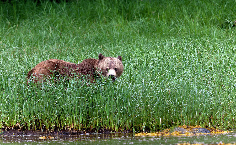 Grass Photograph - Female Grizzly, Knight Inlet by Doug Mckinlay