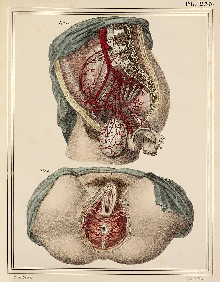 Female Groin Arteries, 1825 Artwork Photograph by Science Photo Library
