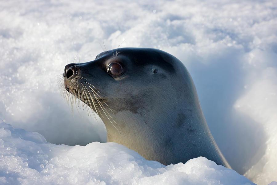 Female Harp Seal Poking Head Through Photograph by Keren Su