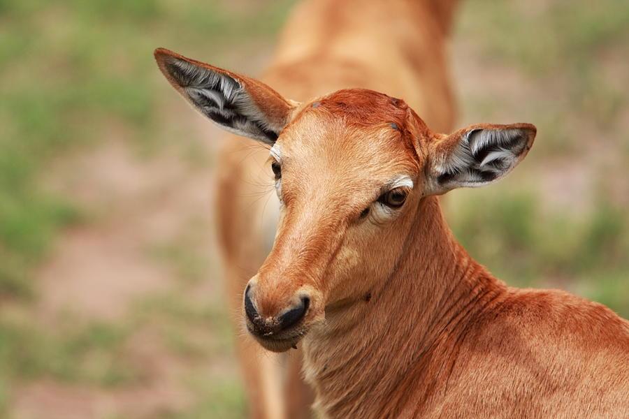 Deer Photograph - Female Impala by Aidan Moran