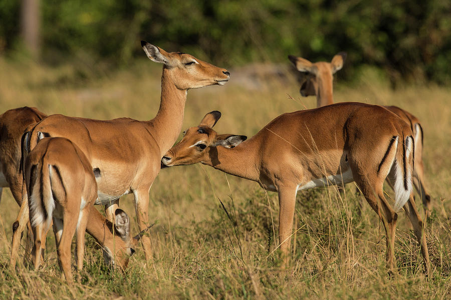 Female Impalas Grooming Photograph by Manoj Shah