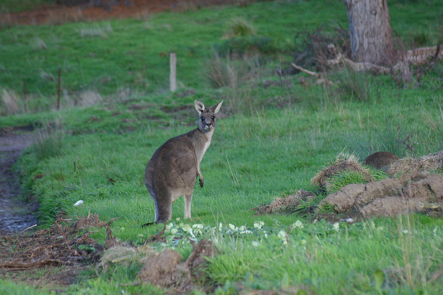 Kangaroos Photograph - Female Kangaroo In Yarra Glen 08-07-2014 by Bert Ernie
