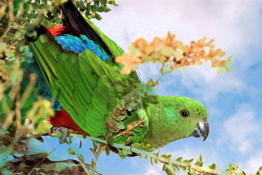 Female King Parrot by David Rich
