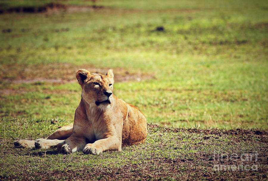 Lion Photograph - Female Lion Lying. Ngorongoro In Tanzania by Michal Bednarek