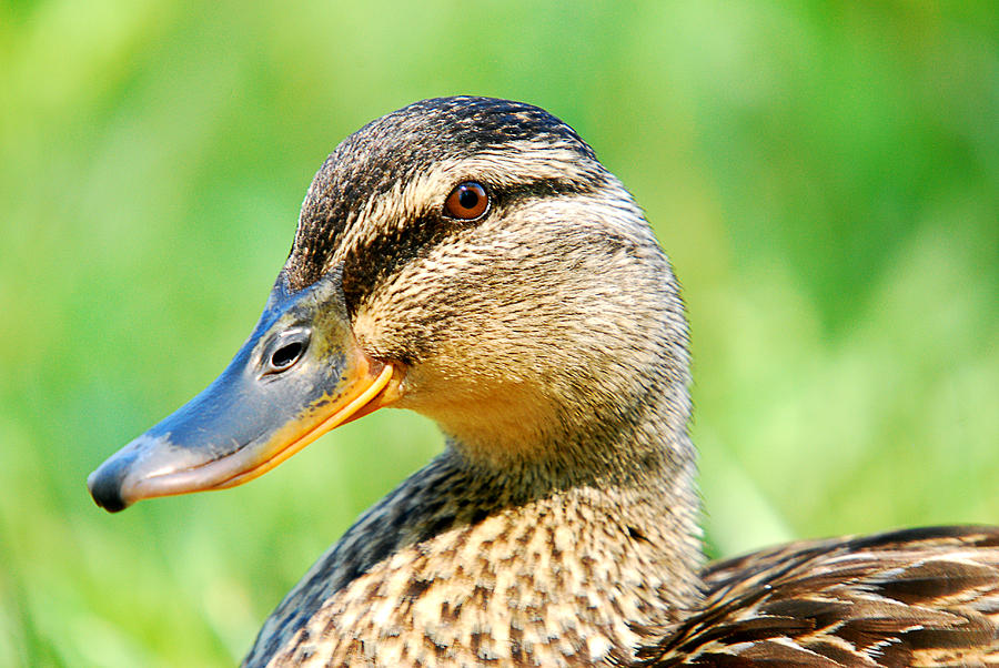 Female Mallard Duck Photograph