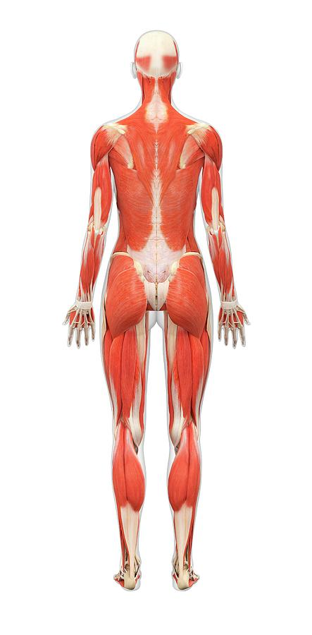 Female Muscle Structure Photograph By Medi Mationscience Photo