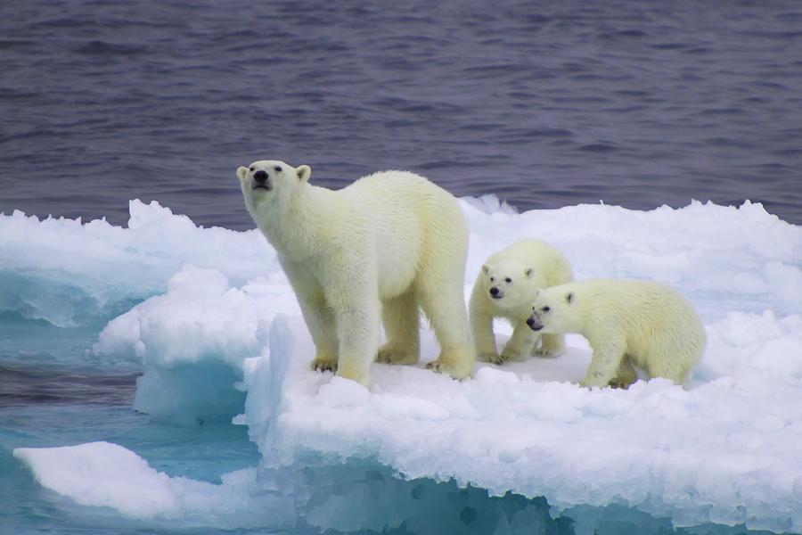 Female polar bear with cubs on iceberg Photograph by © Vadim Balakin