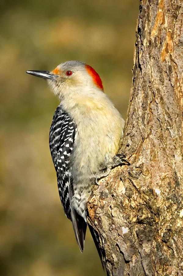 Red-bellied Woodpecker Photograph - Female Red-bellied Woodpecker by Bill Wakeley