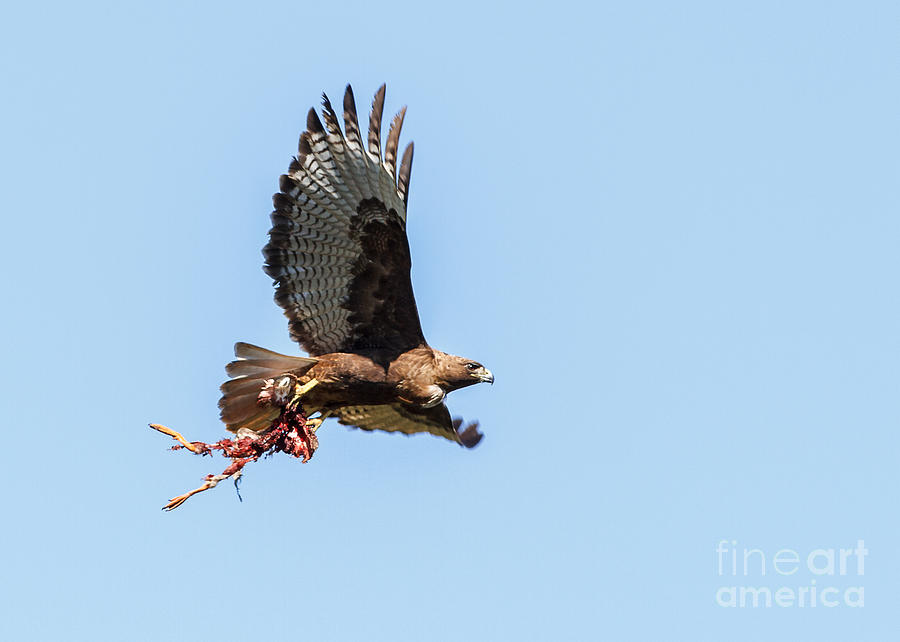 Buteo Jamaicensis Photograph - Female Red-tailed Hawk In Flight by Carl Jackson