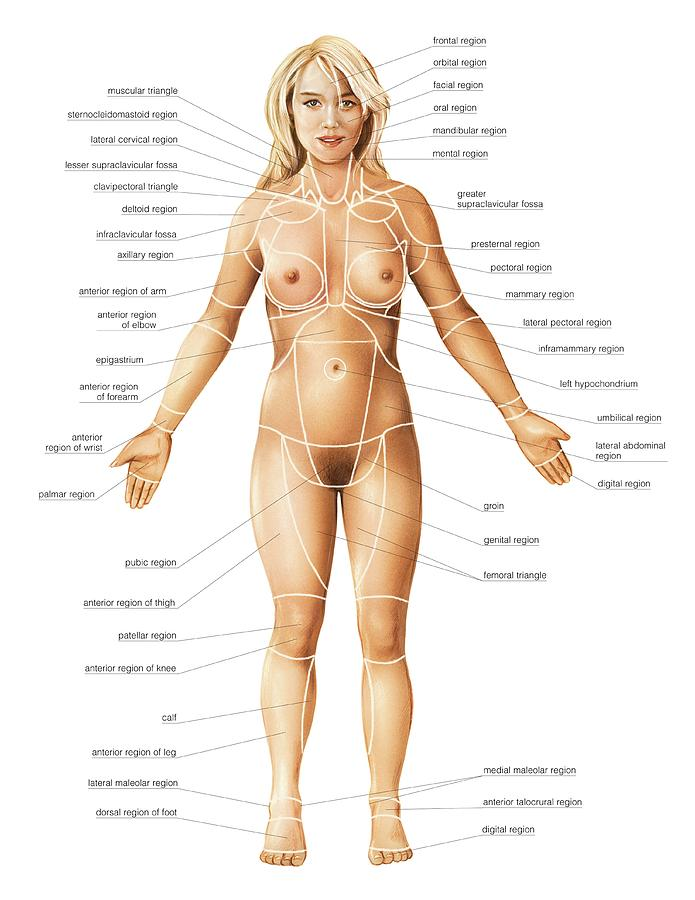 Female Regions Of Anatomy Photograph by Asklepios Medical Atlas