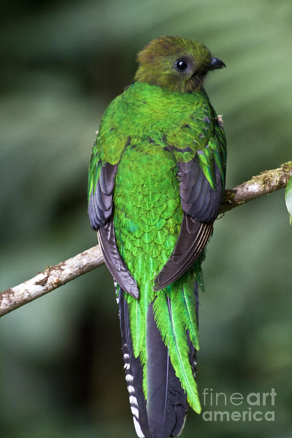 Female Resplendent Quetzal Photograph