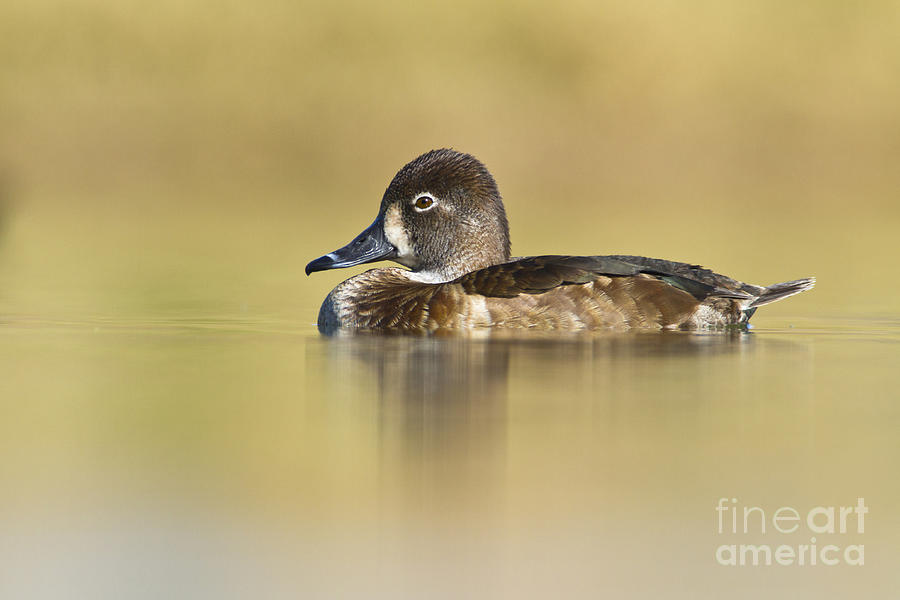 Duck Photograph - Female Ring Necked Duck by Bryan Keil