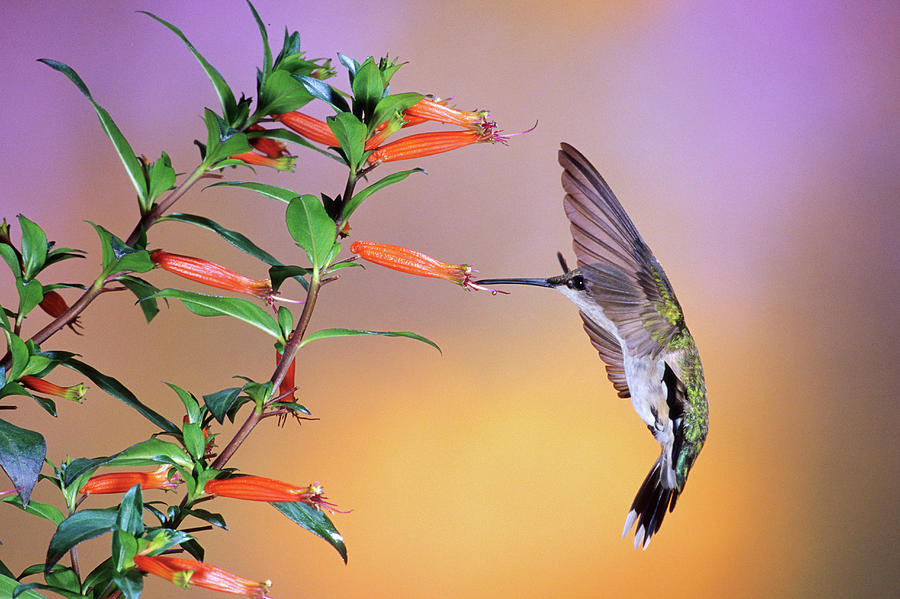 Horizontal Photograph - Female Ruby-throated Hummingbird by Animal Images