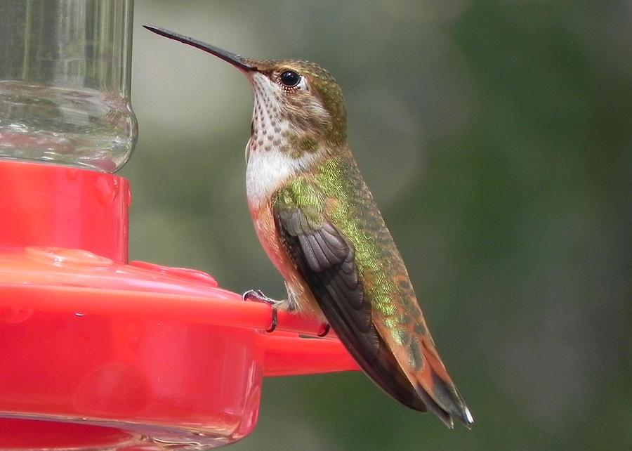 Hummingbird Photograph - Female Rufous Hummingbird by Adrienne Petterson
