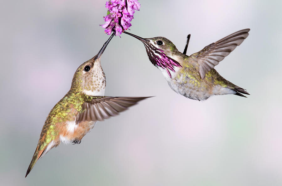 Female Rufous Hummingbird And Male Photograph by Tom Walker