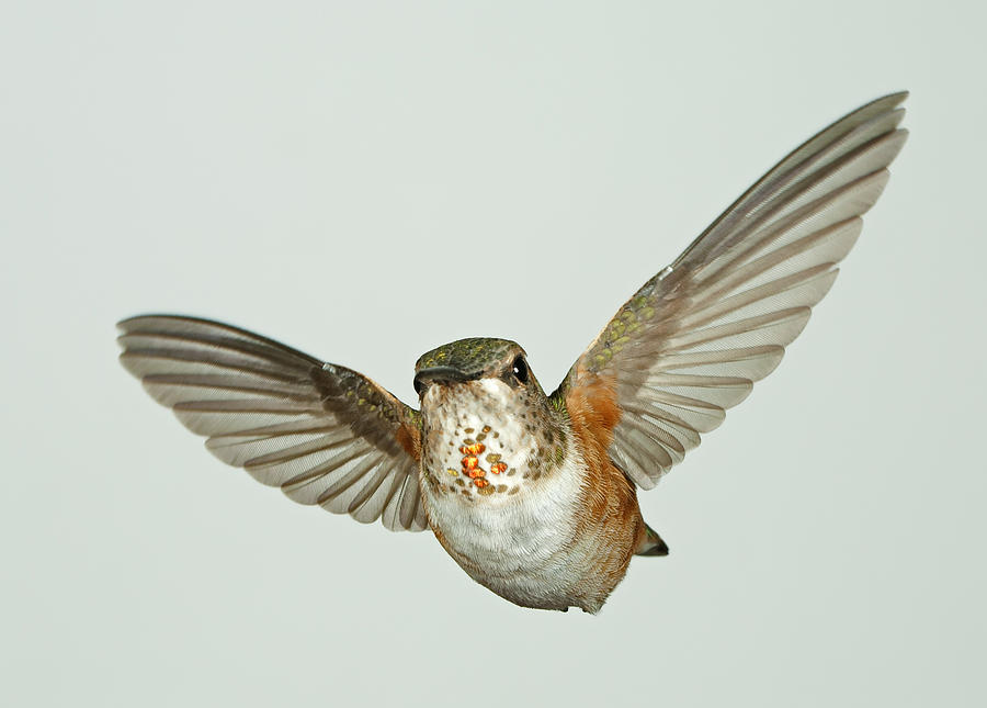 Bird Photograph - Female Rufous Hummingbird With Sequins by Gregory Scott