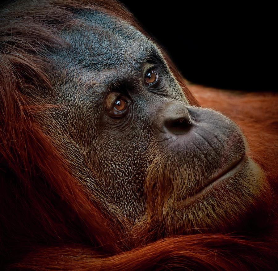 Female Sumatran Orang-utan Photograph by Photo By Steve Wilson