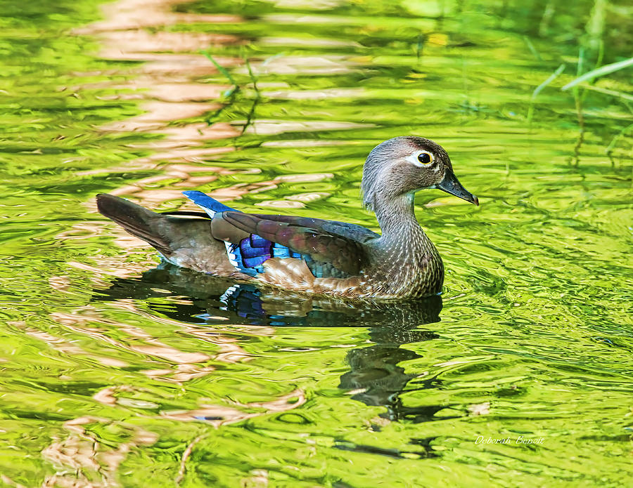 Wood Duck Photograph - Female Wood Duck by Deborah Benoit