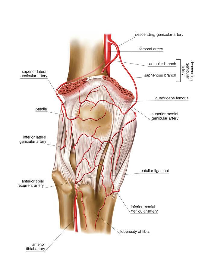Femoral Artery Photograph By Asklepios Medical Atlas