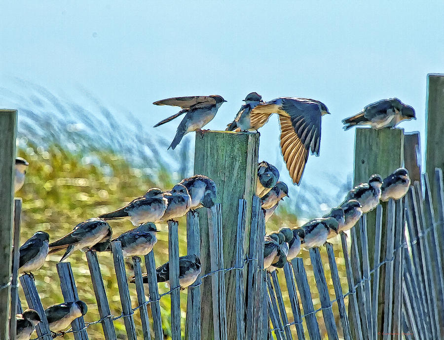Swallows Photograph - Fence Sitters by Constantine Gregory