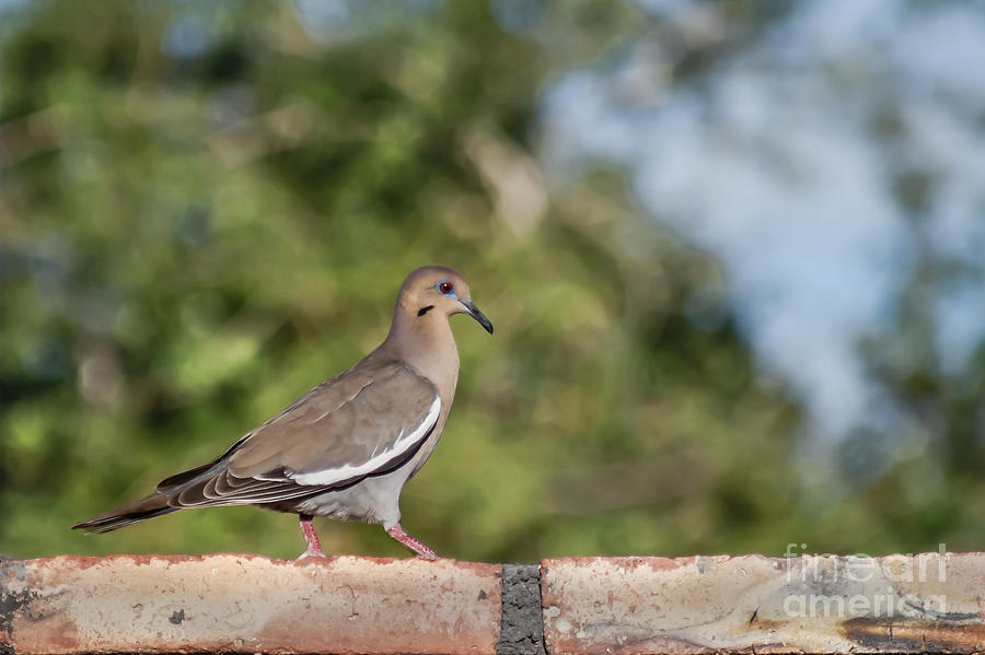 Morning Dove Photograph - Fence Walker by Robert Bales