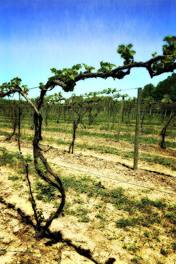 Grape Vines Photograph - Fenn Valley Vineyards by Michelle Calkins