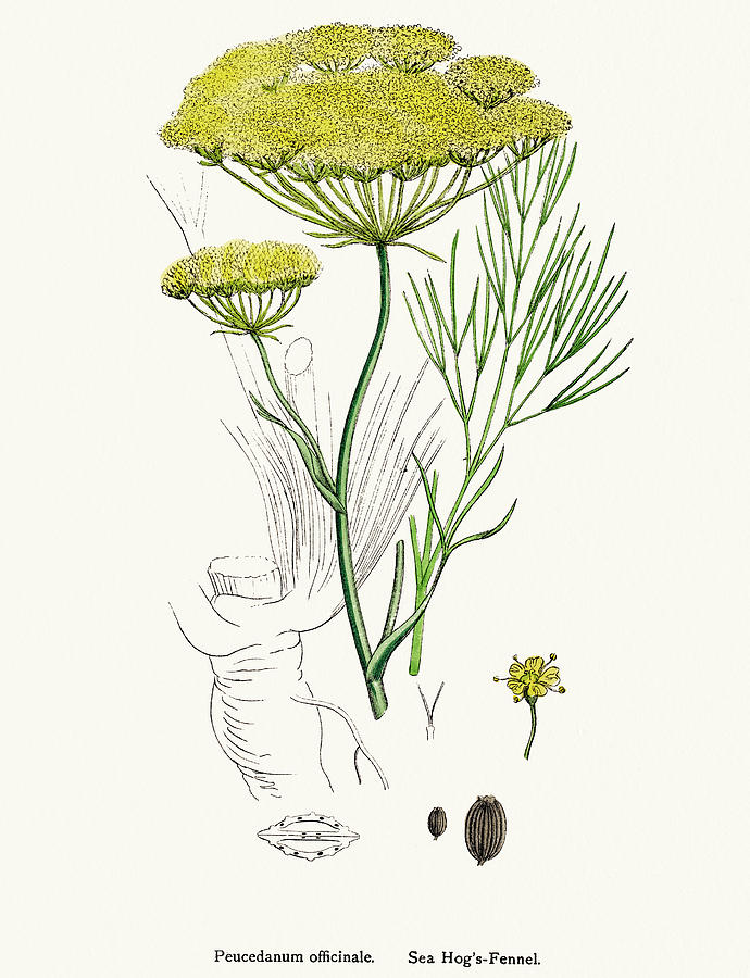 Fennel Plant Scientific Illustration Digital Art by Mashuk