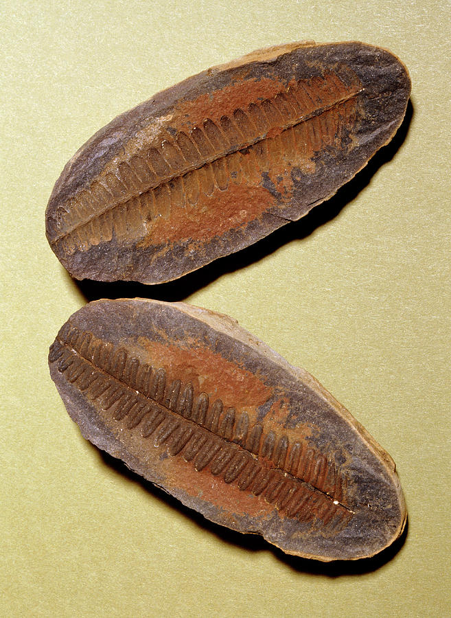 Fern Photograph - Fern Fossil (pecopteris Sp.) by M P Land/science Photo Library