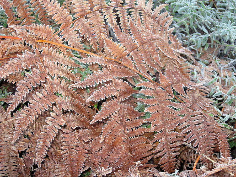 Frost Photograph - Fern Frond Frosted by Ellen Miffitt