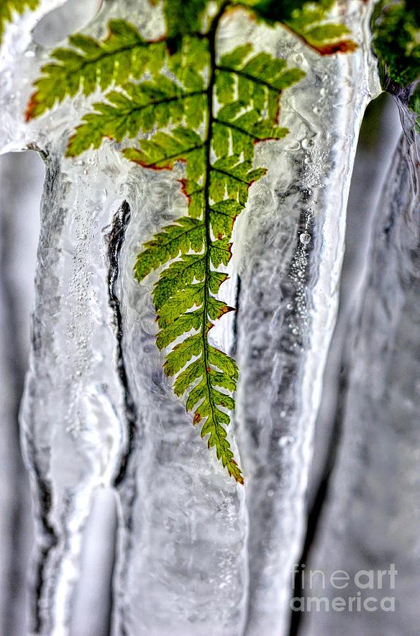 Fern Photograph - Fern In Ice by Dan Friend