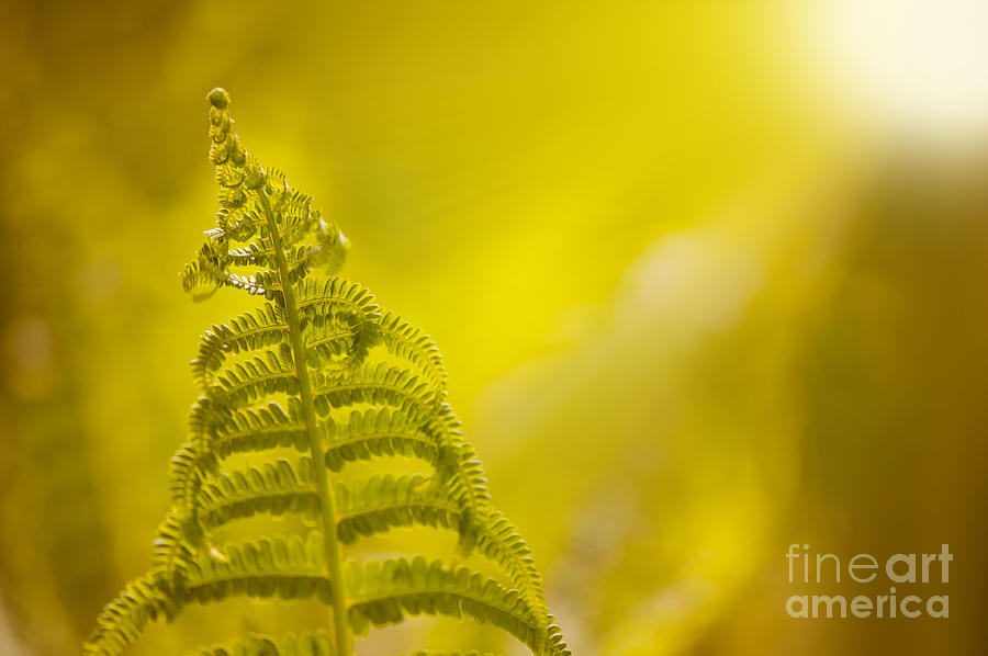Dryopteris called wood fern leaf and sunbeam  by Arletta Cwalina