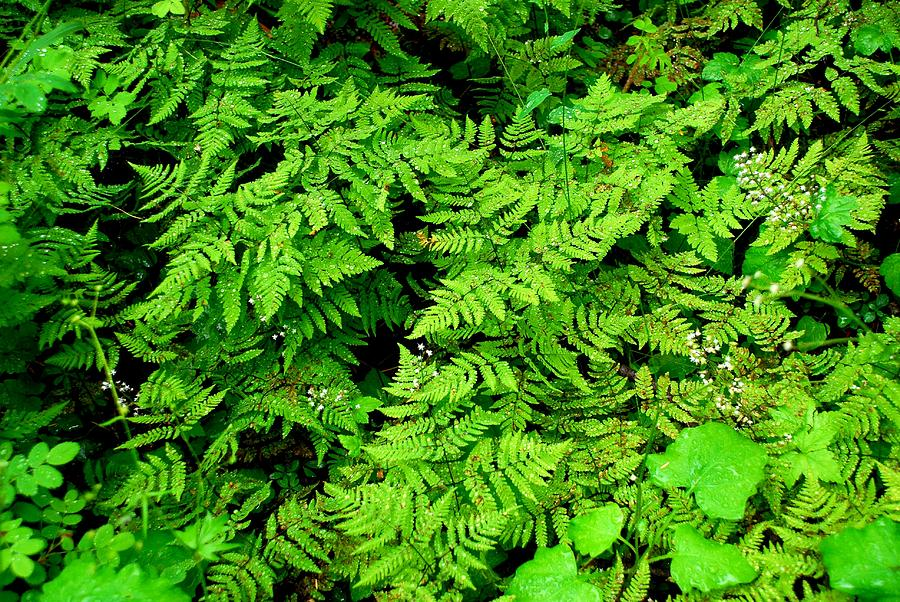 Fern Photograph - Ferns And Fauna by T C Brown