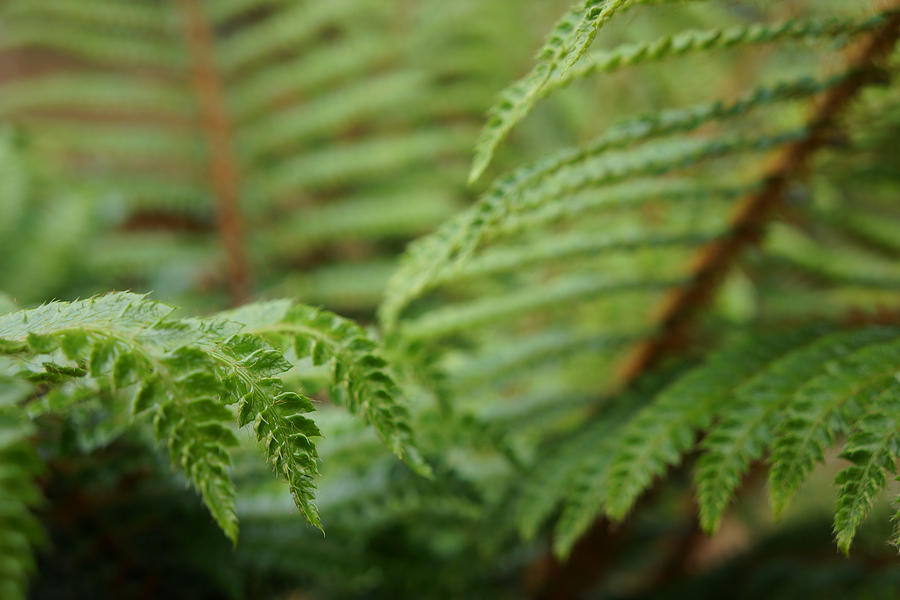 Ferns Art Prints Green Fores Fern Photograph