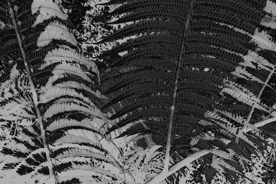 Black & White Photography Photograph - Ferns by Colleen Cannon