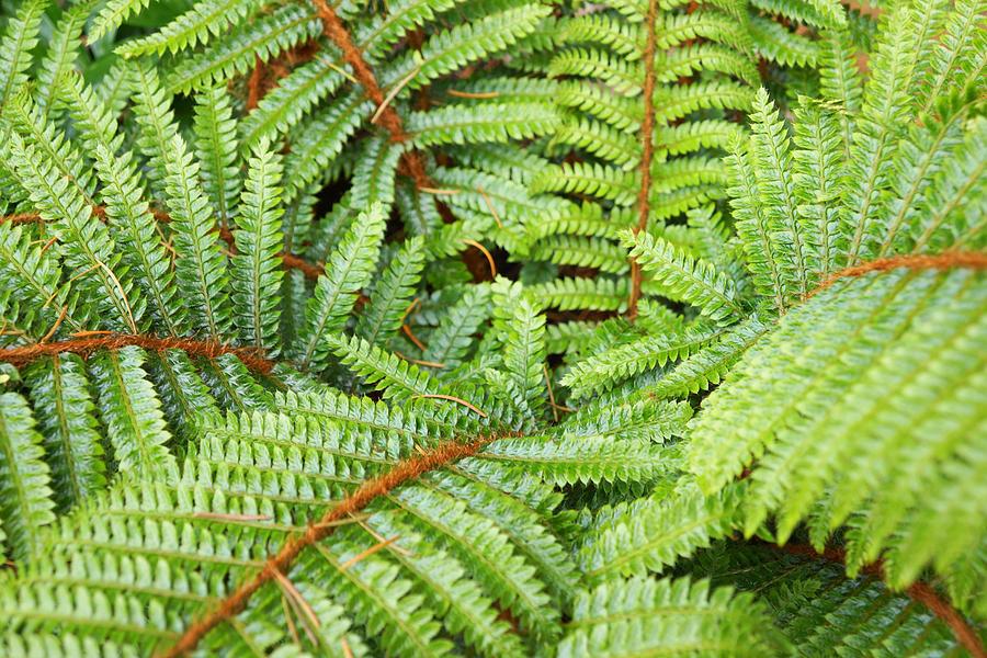Ferns Forest Art Prints Green Fern Fronds Photograph
