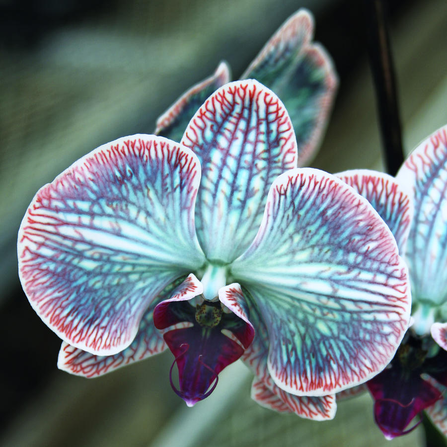 Orchid Photograph - Festive Orchid by William Dey