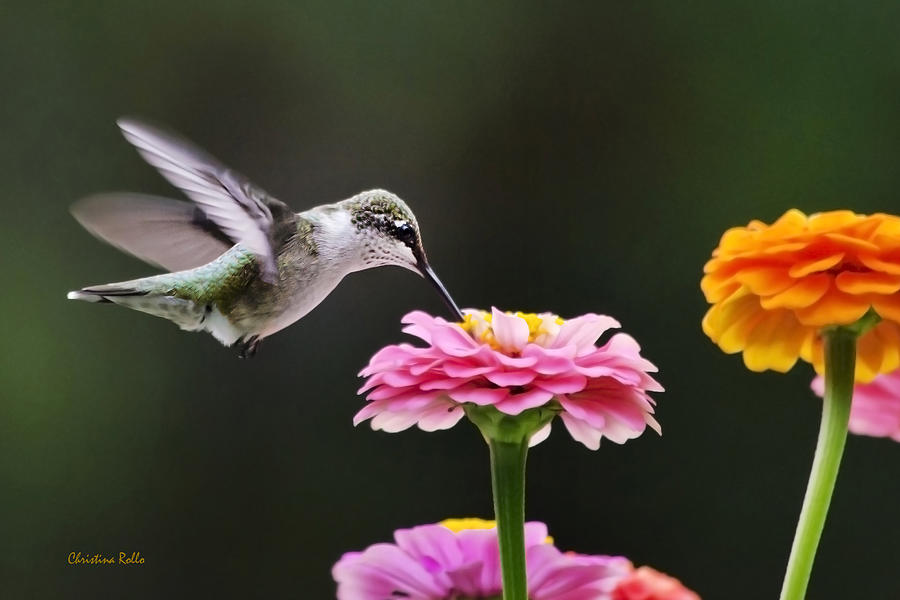 Hummingbirds Photograph - Few And Far Between by Christina Rollo