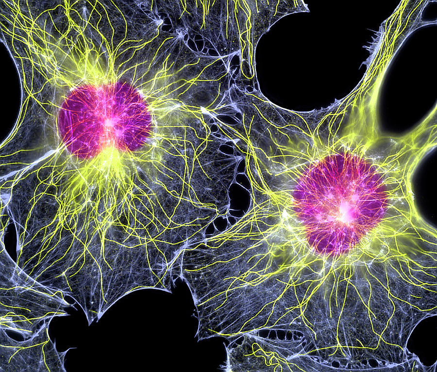 Fibroblast Photograph - Fibroblast Cells Showing Cytoskeleton by Dr Torsten Wittmann