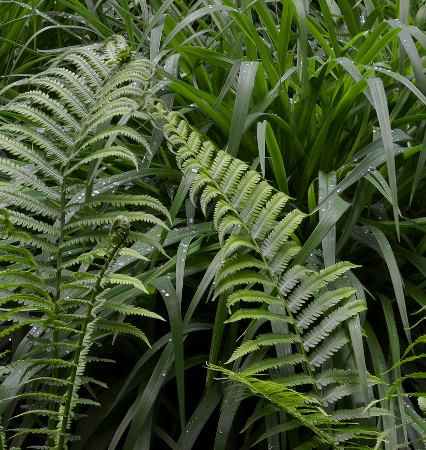 Ferns Photograph - Fiddle Head Ferns  by Lyle Crump