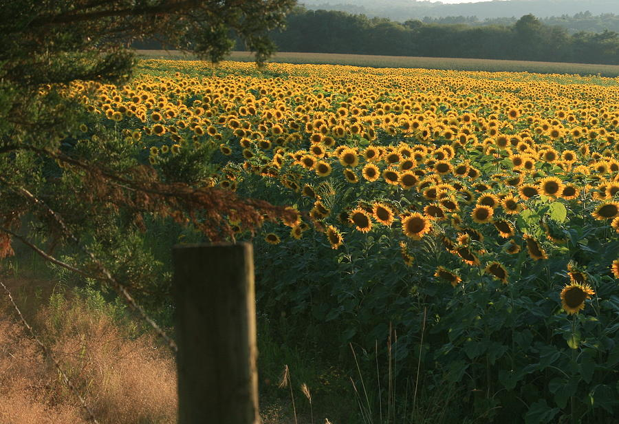 Sunflower Art Photograph - Field Dreams No.2 by Neal Eslinger