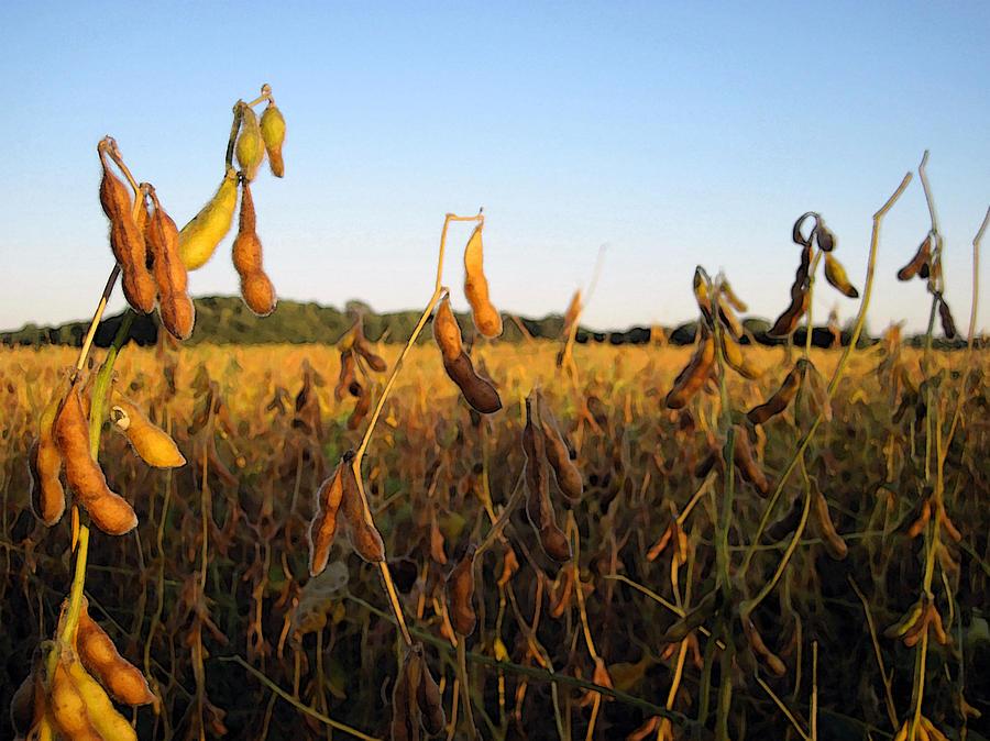 Farm Digital Art - Field Of Beans by Christopher Purcell