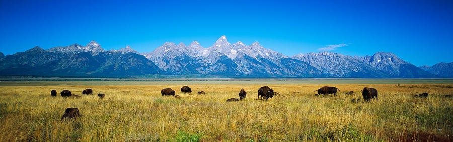 Color Image Photograph - Field Of Bison With Mountains by Panoramic Images
