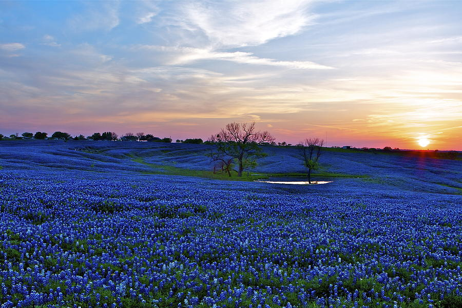 Texas Photograph - Field Of Blue by John Babis