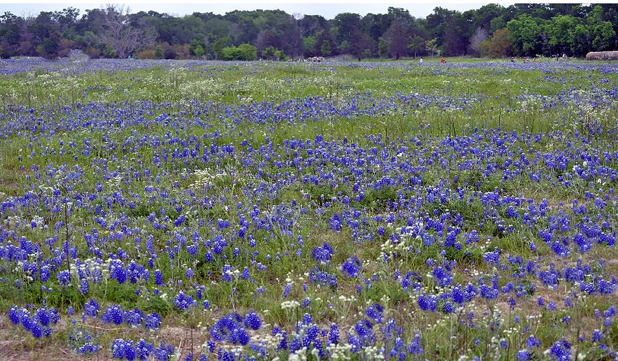 Flowers Photograph - Field Of Bluebonnets by Judith Russell-Tooth