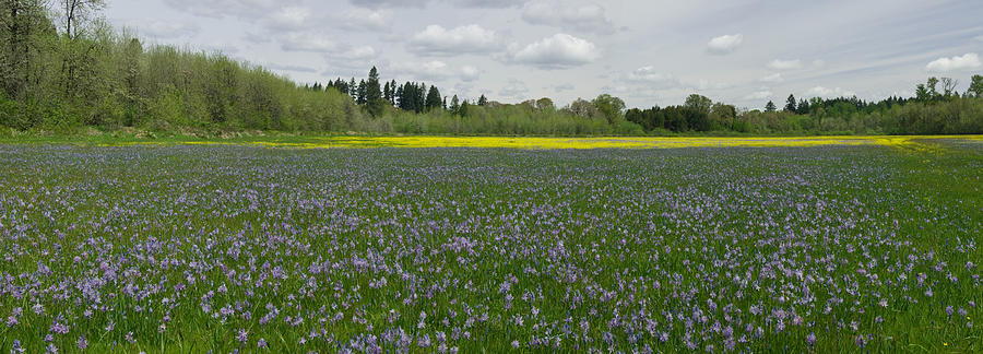 Field Of Camas And Western Buttercup Photograph by John Higby