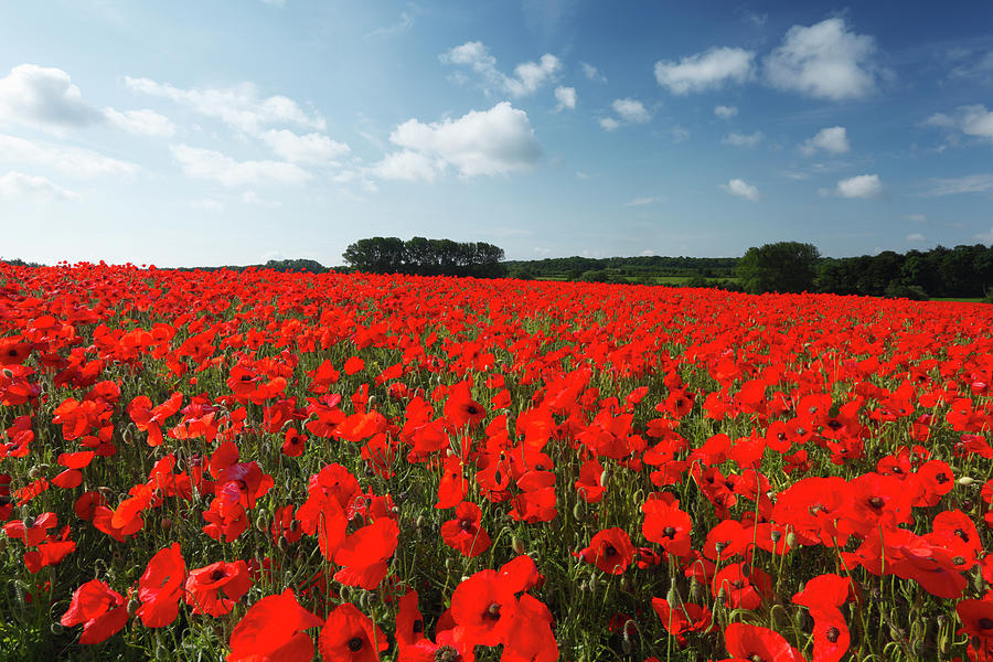 Field Of Common Poppies Photograph by James Osmond