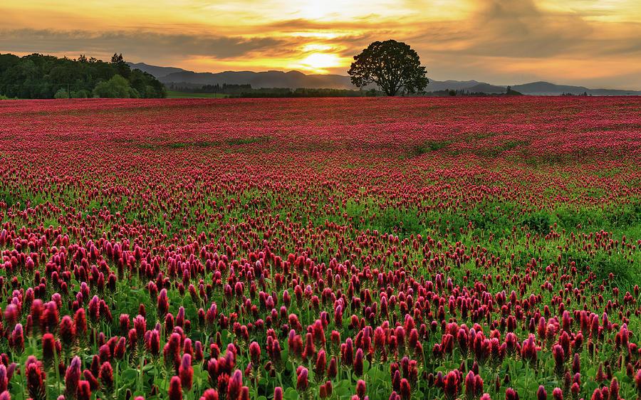 Field Of Crimson Clover With Lone Oak Photograph by Jason Harris