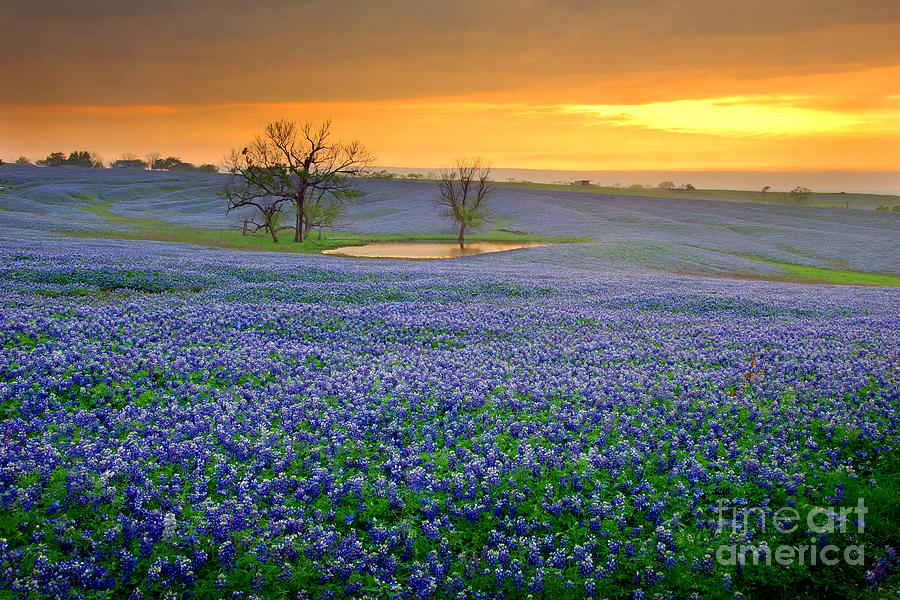 Texas Bluebonnets Photograph - Field Of Dreams Texas Sunset - Texas Bluebonnet Wildflowers Landscape Flowers  by Jon Holiday
